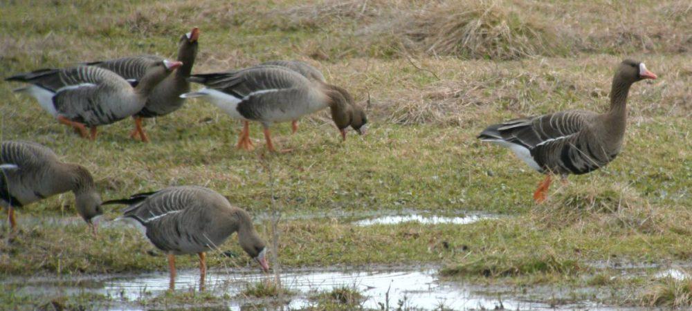 День гуся в Кологриве